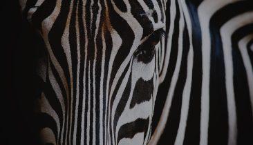icatch_zebra