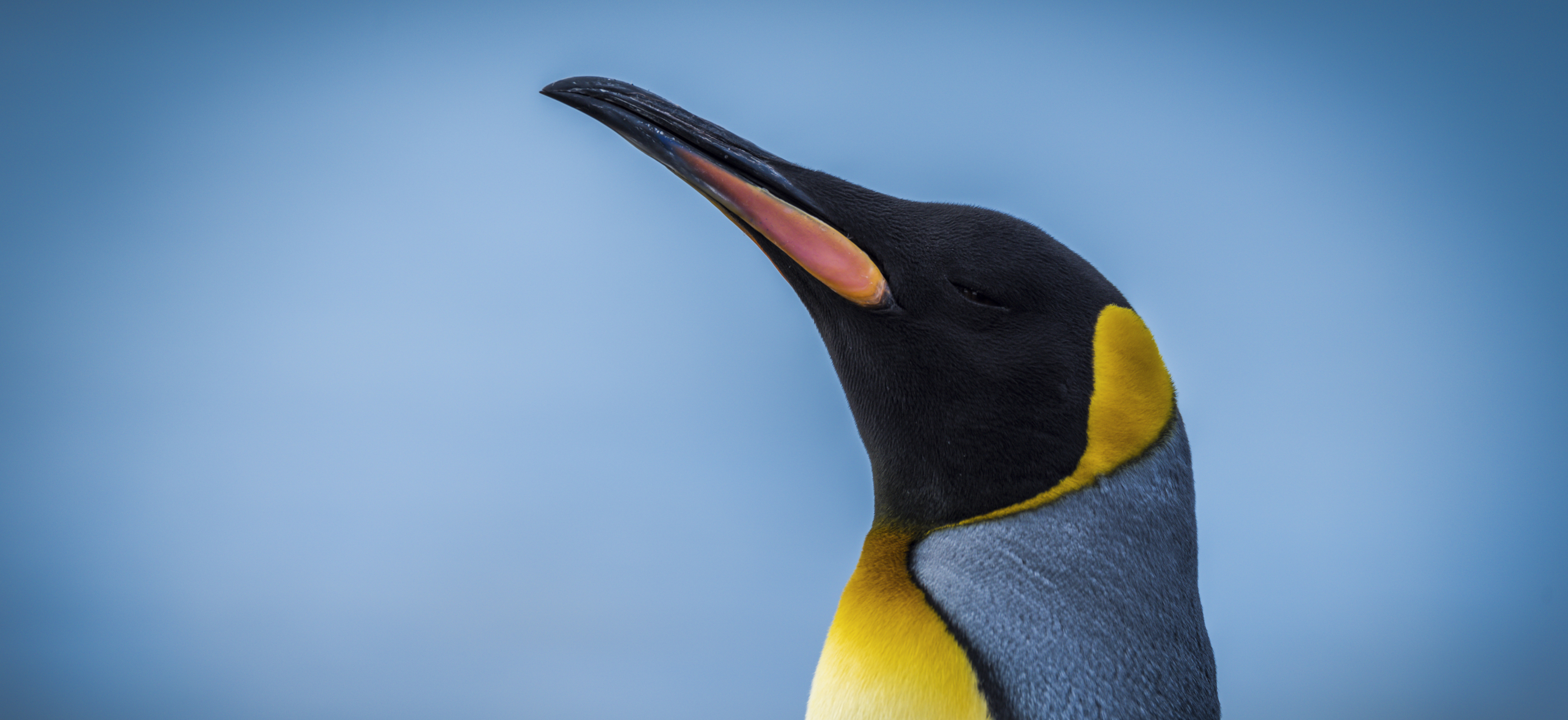 Close-up of king penguin with sea behind
