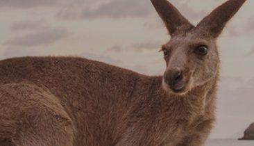 ANIMAL_kangaroo_thumbnail