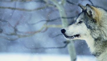 Gray Wolf in Snow --- Image by ゥ Royalty-Free/Corbis