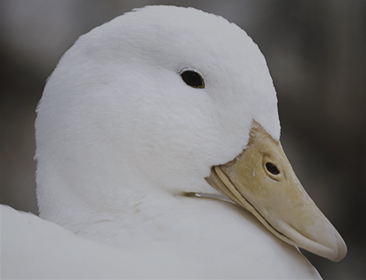 ANIMAL_duck_Symbol