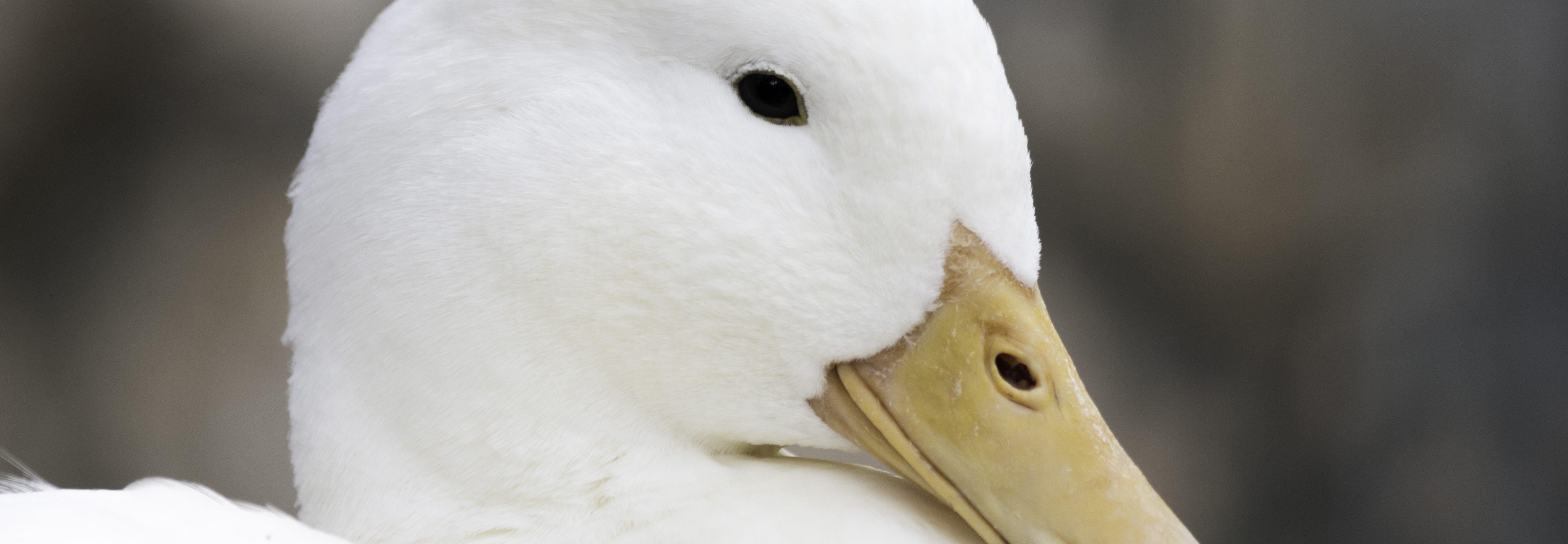 Pato Blanco